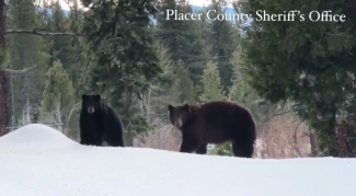 Black bear and her cub spotted in Tahoe City (VIDEO)