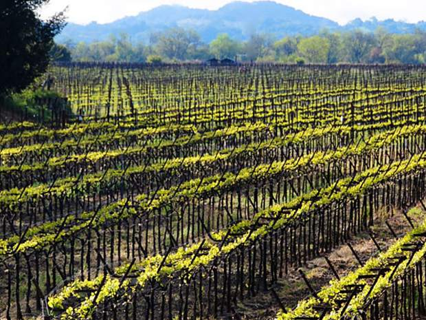 In Sonoma County, there are 18 different AVAs, or American Viticultural Areas, each with unique geological, weather or soil conditions which impact the styles and flavors of the wines grown in each of the regions.