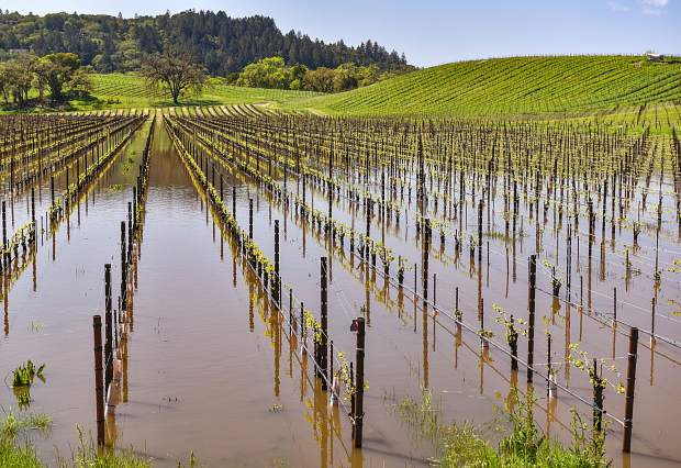 While it may look damaging, the flooding of the vines in early spring before they begin the process of producing grapes should not be damaging to the upcoming vintage . As long as the rains come in March, the abundant water can be viewed as a positive for the vineyards.