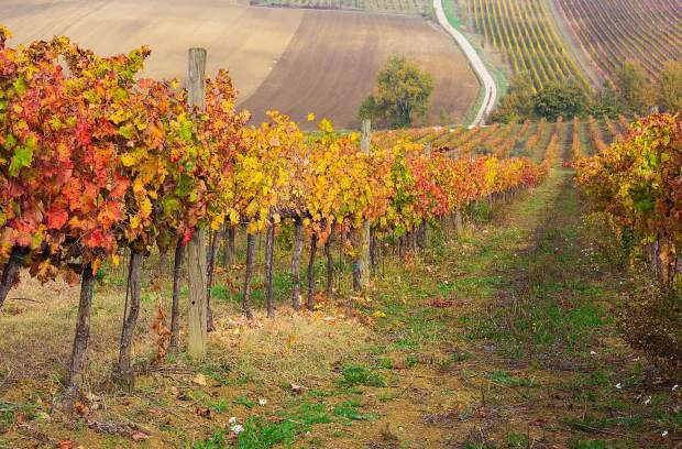 It may be spring here but in the vineyards of the southern hemisphere the leaves on the vines are beginning to show the colors of fall.