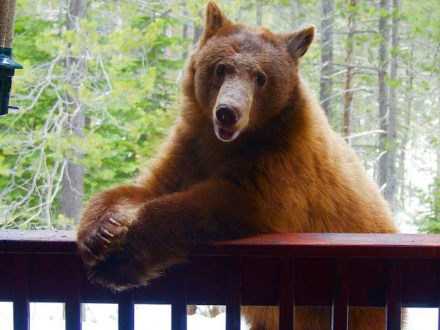 This bear was snacking on my bird feeder seed in Tahoe Donner earlier this week. When I tapped on the window he/she turned to me and struck this pose.