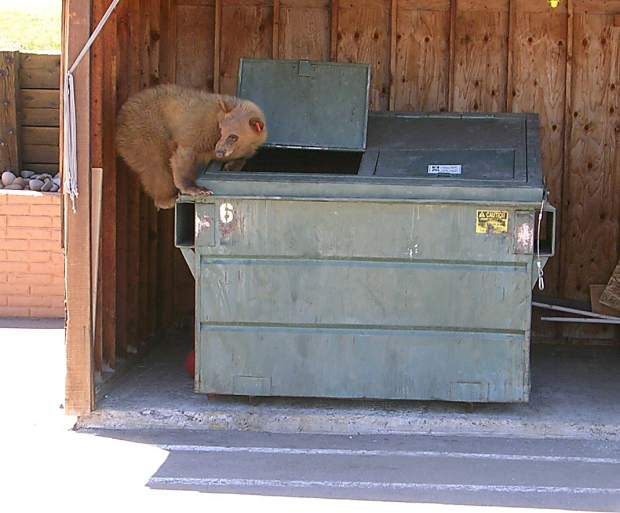 Bears digging through trash bins have caused basin-wide concerns.