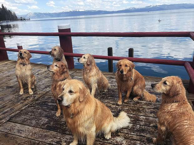 "Jaxon (front center) hosted his siblings and his half sister Banshee (Golden doodle, far back left) for a swim on the West Shore during ""Golden Days."""