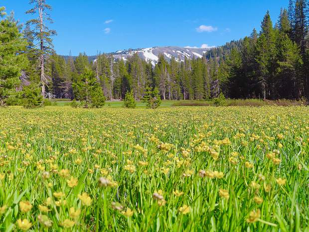 Mt. Lolo and Alpine Buttercups.