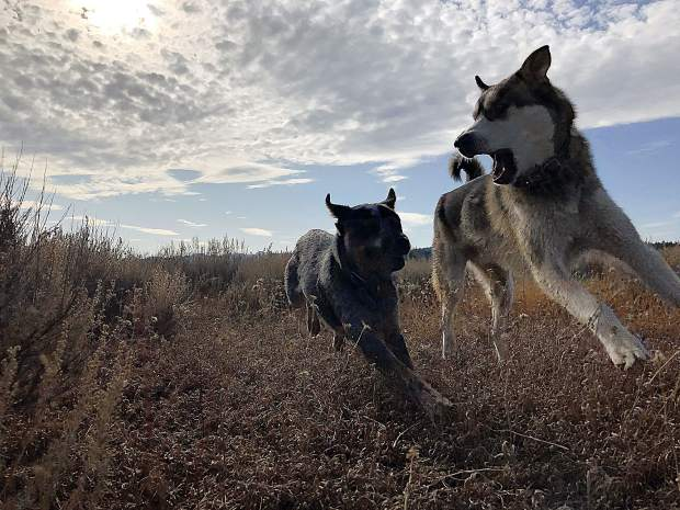 A Dog's Perspective - Timber and Bandit have a romp in the Martis Valley.