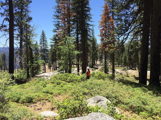Researcher Paul Excoffier is shown during field work about plant diversity and wildfire in the Sierra Nevada.