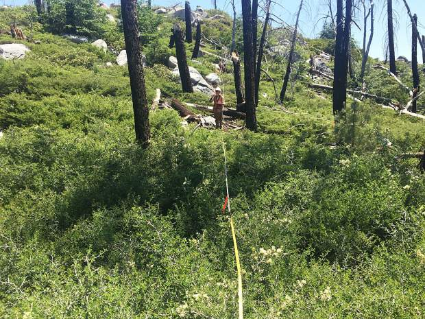 UC Davis' Clark Richter investigates plant diversity within a transect line of a Sierra Nevada forest affected by drought and wildfire.