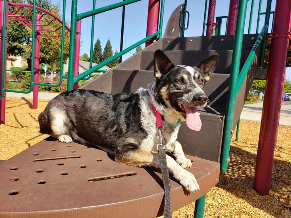 Ginger, a 7-year-old dog, is currently up for adoption at the Humane Society of Truckee-Tahoe.