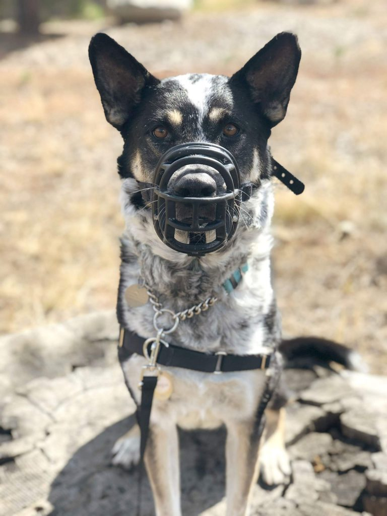 Ginger, who weighs 57 pounds, came to the shelter last winter with her sister Star after being sent to Truckee from Yolo County Animal Services.