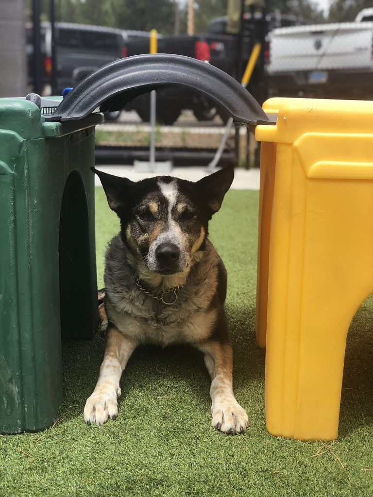 During her time at the humane society, Ginger has grown a local fanbase through the shelter's Facebook page and the hashtag GingerChronicles, which has detailed her time in Truckee and her progress at Tug Dogs.
