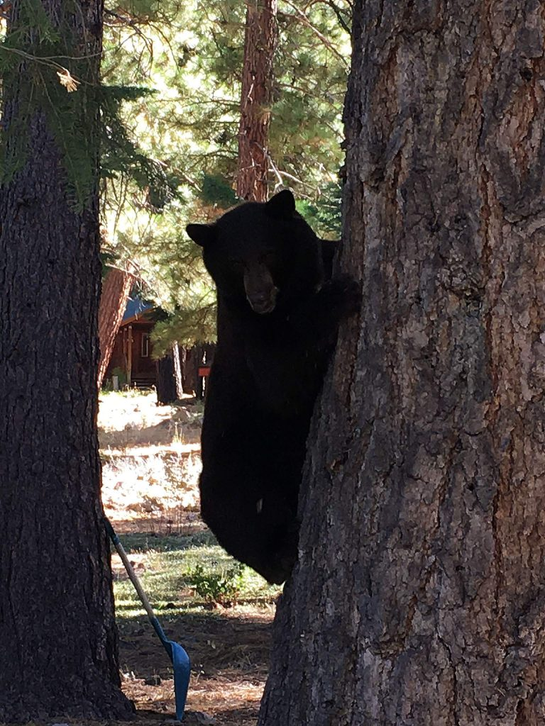 This Black Bear was exploring our yard one morning. When we opened the deck door he scrambled up our big fir tree for a bit.