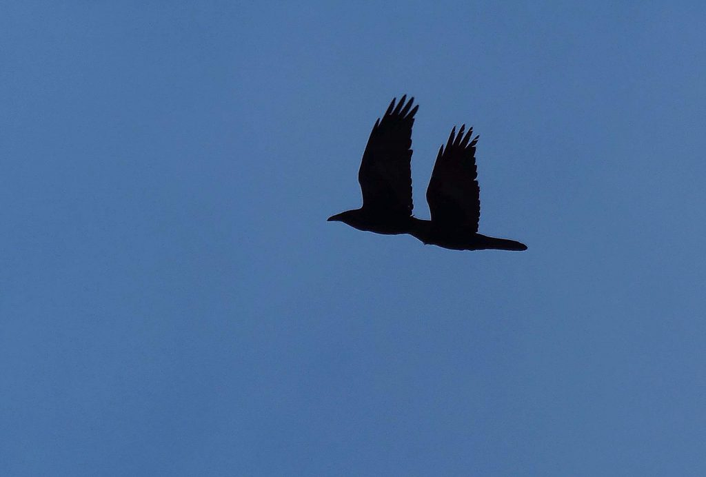 Tagging along with the group are a couple Ravens in perfect sync waiting for a tired thrush to fall behind.