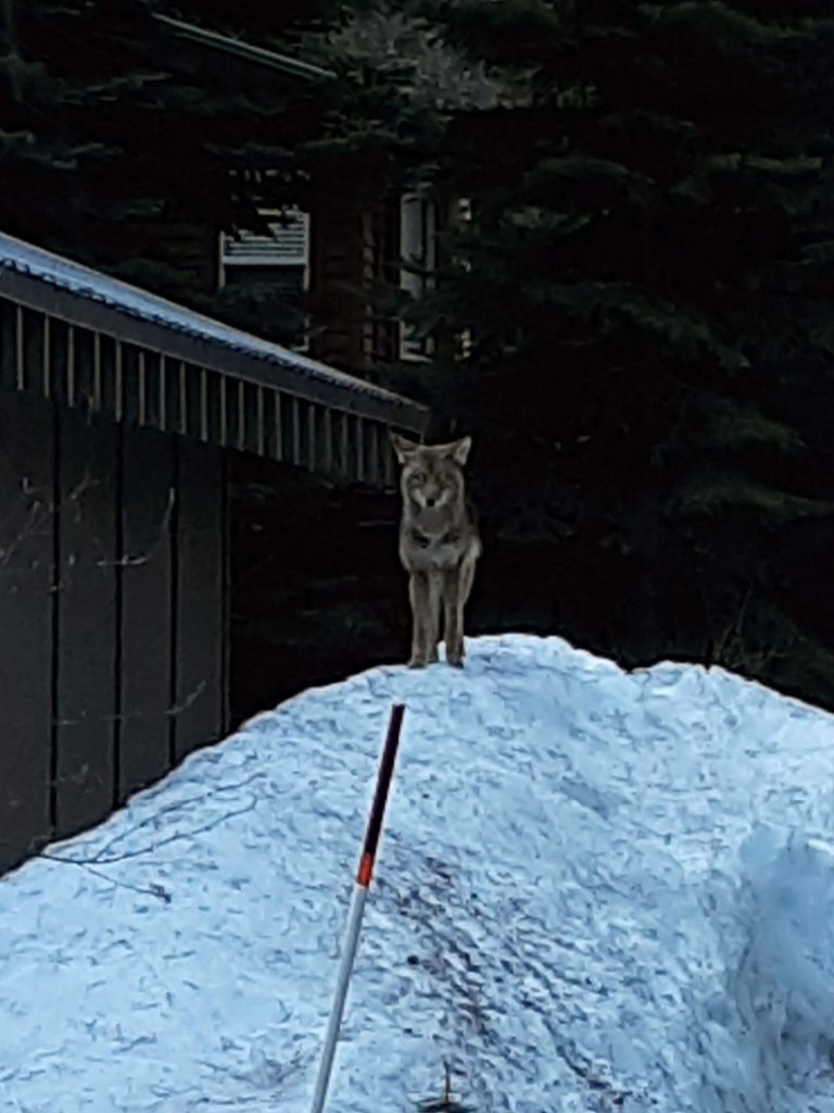 Early morning visitor at Donner Lake.