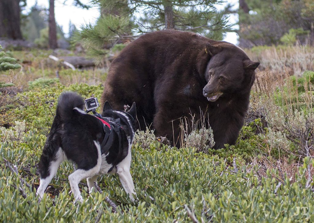 The dogs train the bear that a specific location is unpleasant.