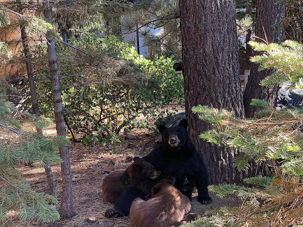 Mama bear. This was in Dollar Point, Tahoe City.