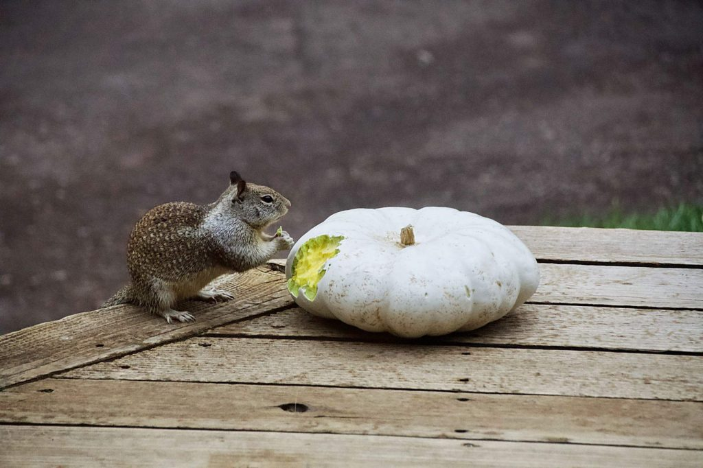 Squirrels, chipmunks, and Stellar jays are having a field day with pumpkins on our deck. Caught this guy chowing down last weekend.